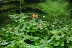 Larves de crevettes sur Monosolenium