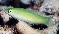 Halichoeres Chloropterus Exotics Fish Loricula Flame