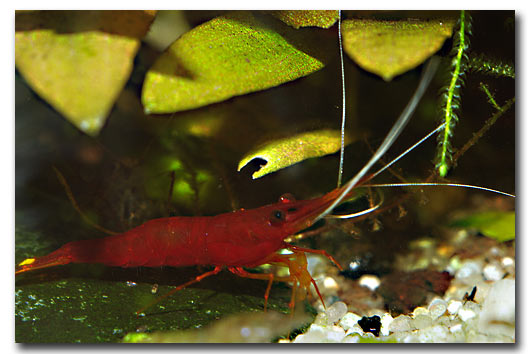 Caridina super red cherry