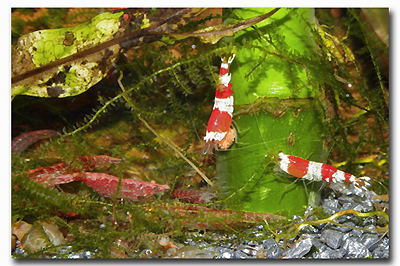 Crevette caridina crystal red