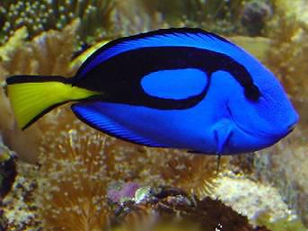 Paracanthurus hepatus bleu