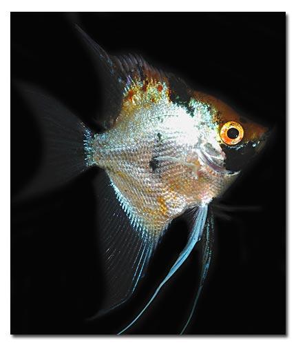 Abri sous roche poissons d 39 eau douce scalaires sud for Variete koi