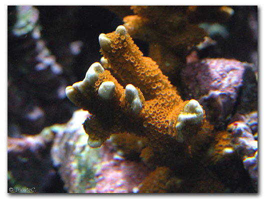 La colonie de polypes sur un Montipora digitata rouge